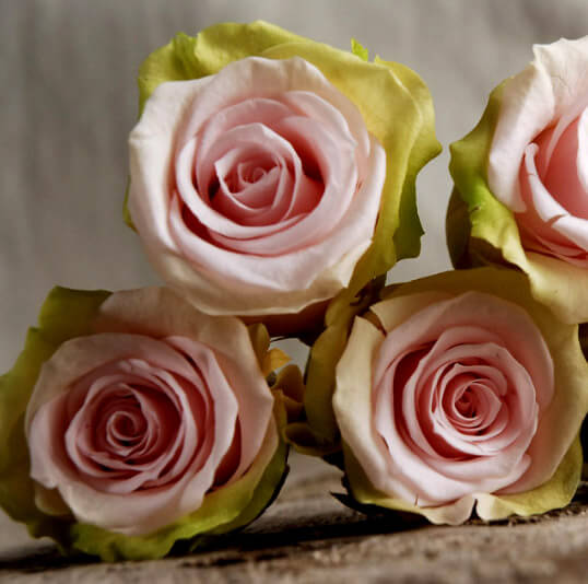 Preserved natural bi color pink lime green roses 9 rose for Natural rose colors