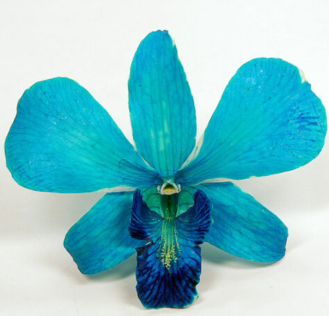 Preserved Blue Orchid Flowers (Box of 30)