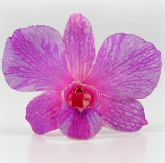 30 Tropical Pink Preserved  Orchid Flowers