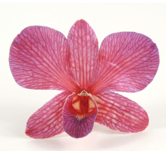 30 Cerise Red Preserved Orchid Flowers