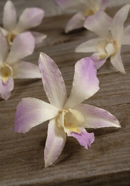 30 Lavender Blush Preserved Orchid Flowers