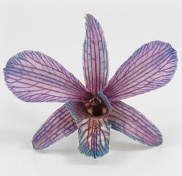 Preserved Orchids Violet Butterfly (30 flowers)