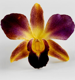 30 Yellow & Burgandy Preserved Orchid Flowers