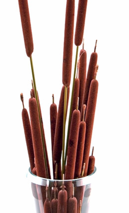 Pencil Cattails | Bundle of 5-8