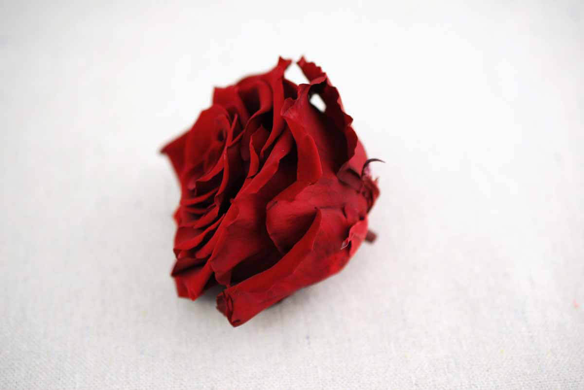 "Preserved Roses 4"" Burgundy Red"