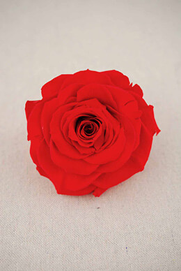 "Large 4"" Coral  Red Preserved Rose"