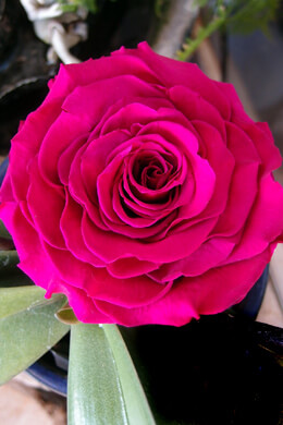 "Large 4"" Fandango Pink Preserved Rose"