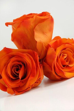 6 Orange Preserved Rose 2.5in
