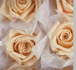12 Pale Peach Preserved Roses  1""