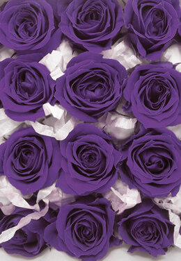 "12 Purple Preserved Roses 1""  Size"