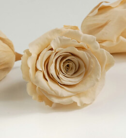 Preserved Roses Champagne 2.5in (6 rose heads)