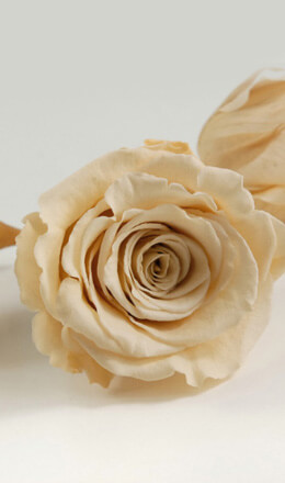 Preserved Roses 2.5in Champagne Ivory (6 roses)