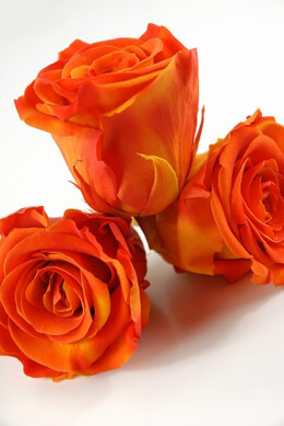 6 Preserved Orange & Yellow Roses  2.5""