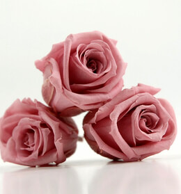Preserved Roses Cherry Pink | 12 heads