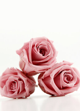 Preserved Roses 1.5in Cherry Pink (12 roses)