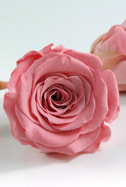 6 Fancy Pink Large Preserved Roses