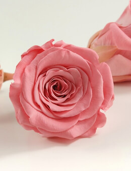 Preserved Roses Fancy Pink Rose Heads 2.5in