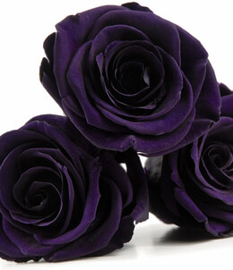 Preserved Roses Purple | 6 heads