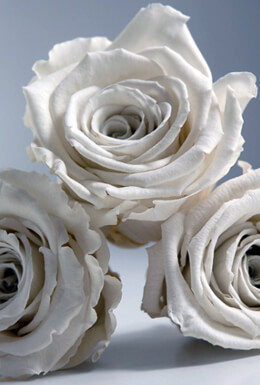 6 Preserved Fancy White Roses  2.5in