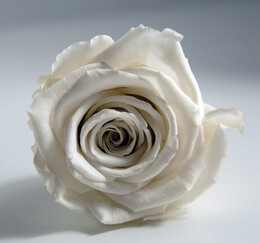 Preserved Roses Fancy White 2.5in | 6 heads