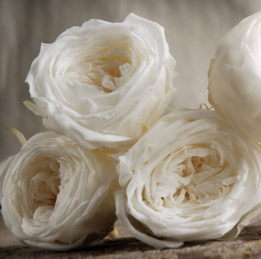 "8 Soft White Preserved Roses  2.25"" Size"