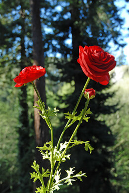 Ranunculus Spray Red 27in (Set of 6)