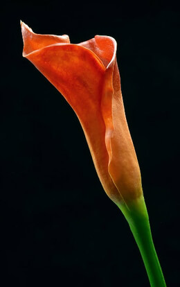 Artificial Calla Lily Orange