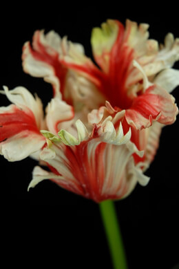 Artificial Parrot Tulip Red & Cream 31in