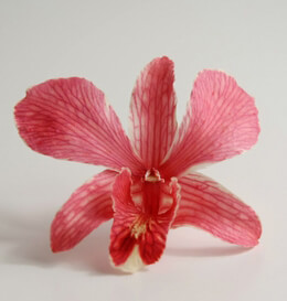 Orchid Flowers Red Preserved | 30 flowers