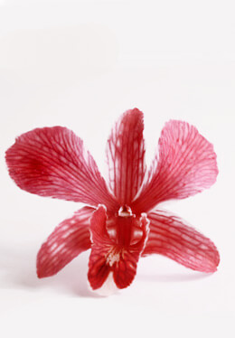30 Preserved Orchid Red Ochids