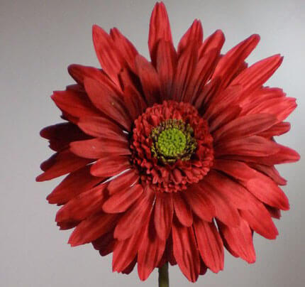 Red Silk Gerbera Daisy 29in