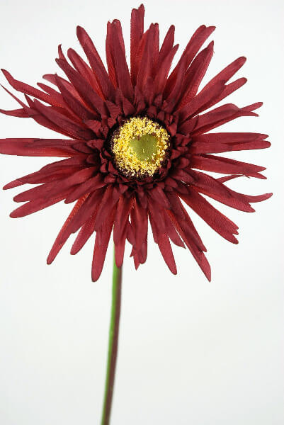 Red Spider Gerbera Daisies (12 flowers)