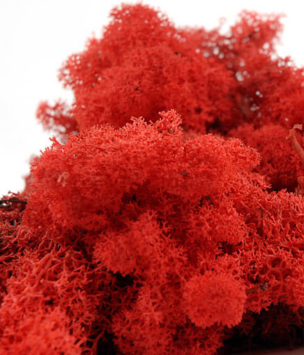 Red Norwegian Reindeer Moss  11oz.