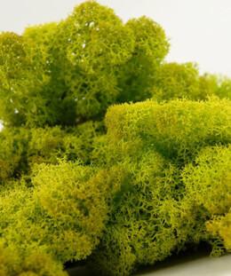 Reindeer Moss Spring Green 11oz