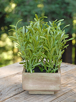 Rosemary in Planter 7.5in Green