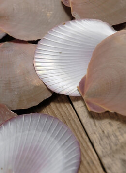 "Scallop Shells 2"" to 3.5"" size (50 shells/ pkg)"