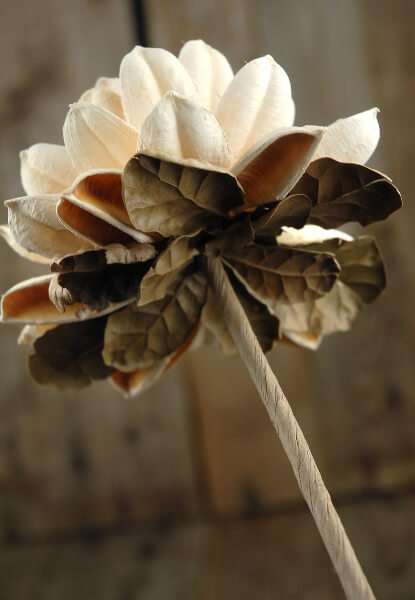 Seed Pod Mum Flower