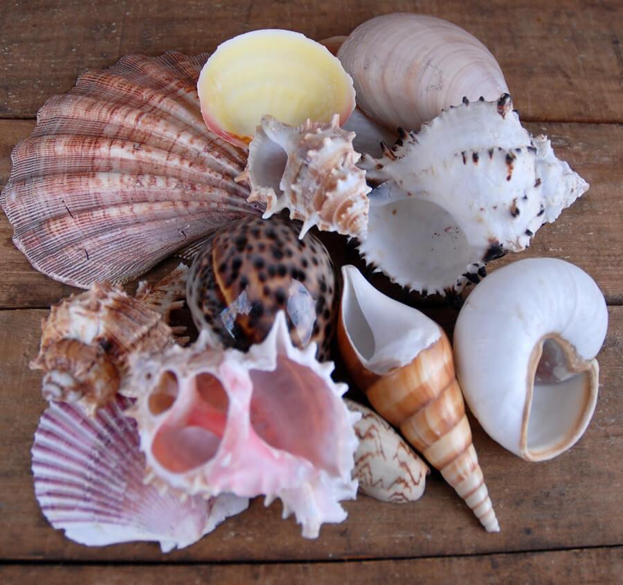 Designer mix shells for Big seashell crafts
