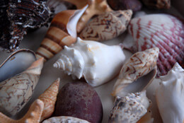 Tropical Collection Shells (Pack of 15)