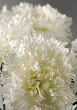 One Dozen White Silk Carnations