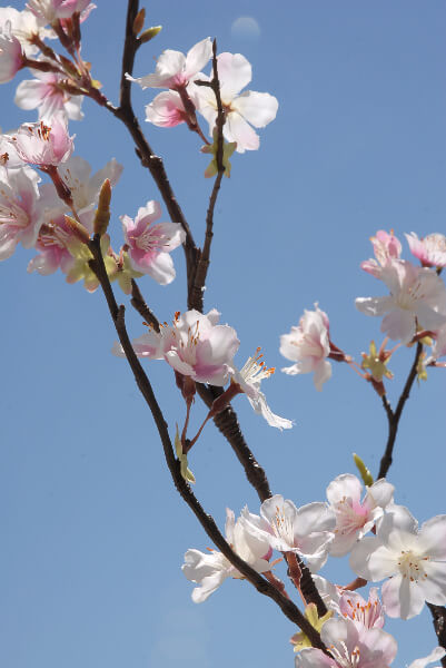 cherry blossom branch - photo #29
