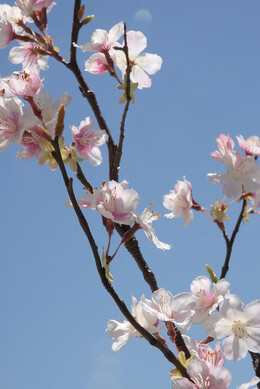 Tall Silk Cherry Blossom Branches 42in