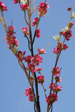 Cherry Blossom Branches Dark Pink 42""