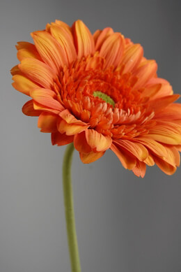 Silk Daisies Orange Gerbera