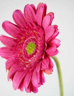 Silk Pink Gerbera Daisies