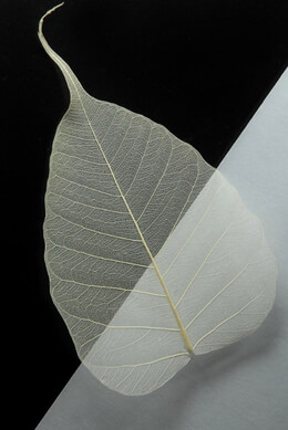 "Bleached 4"" Skeleton Leaves Pack of 100"