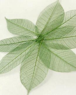 "Skeleton Leaves Natural 1-1/2"" Green Leaves (20 leaves/pkg)"