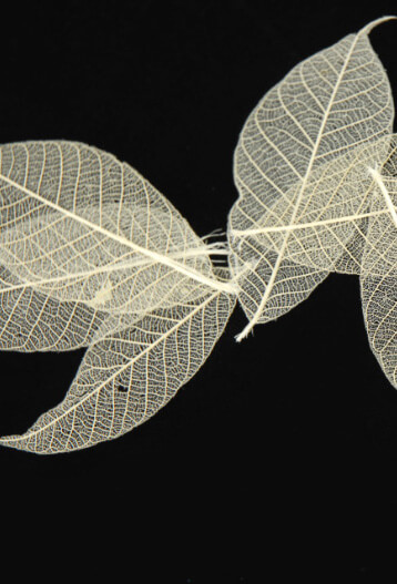 "Skeleton Leaves Transparent Natural 1-1/2"" Rubber tree (pkg/ 20 leaves)"