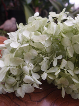 Preserved Hydrangeas Light Green | 2 Flowers