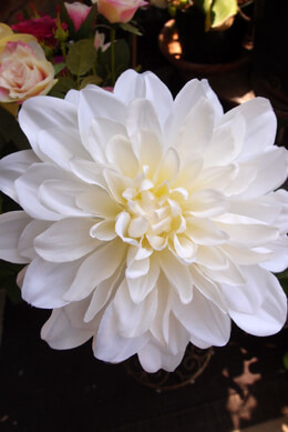White Silk Dahlia Flower Stem